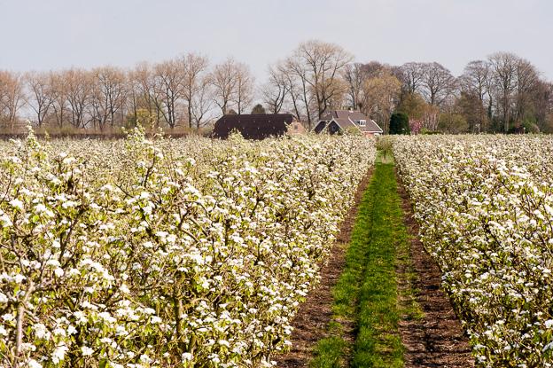 Peren boomgaard in bloei, Vreeland